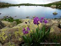 Primula longipes, Kackar mts Turkey