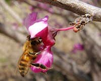 Bee in a Redbud Flower