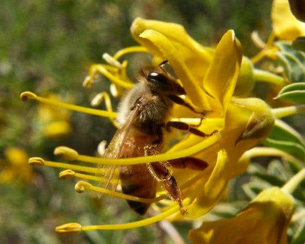 Bee on a Bladder Pod Flower