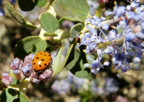 Ladybug on Ceanothus