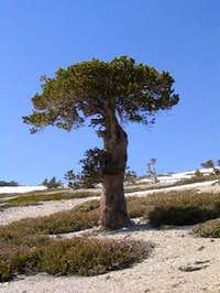 Mushroom-shaped tree at...