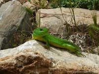 Lizard, Mount Ossa Greece