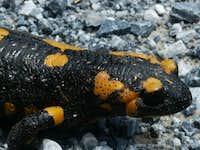 Salamandra salamandra, Mount Pieria Greece