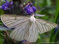 Mount Pieria butterfly, Greece