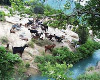 Goats in Erzenit Gorge