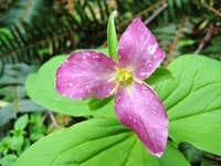 Pink Trillium. Growing Old Gracefully.