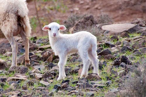 Newly hatched lamb
