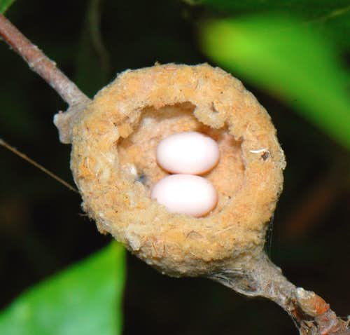 Annas Hummingbird nest with two eggs