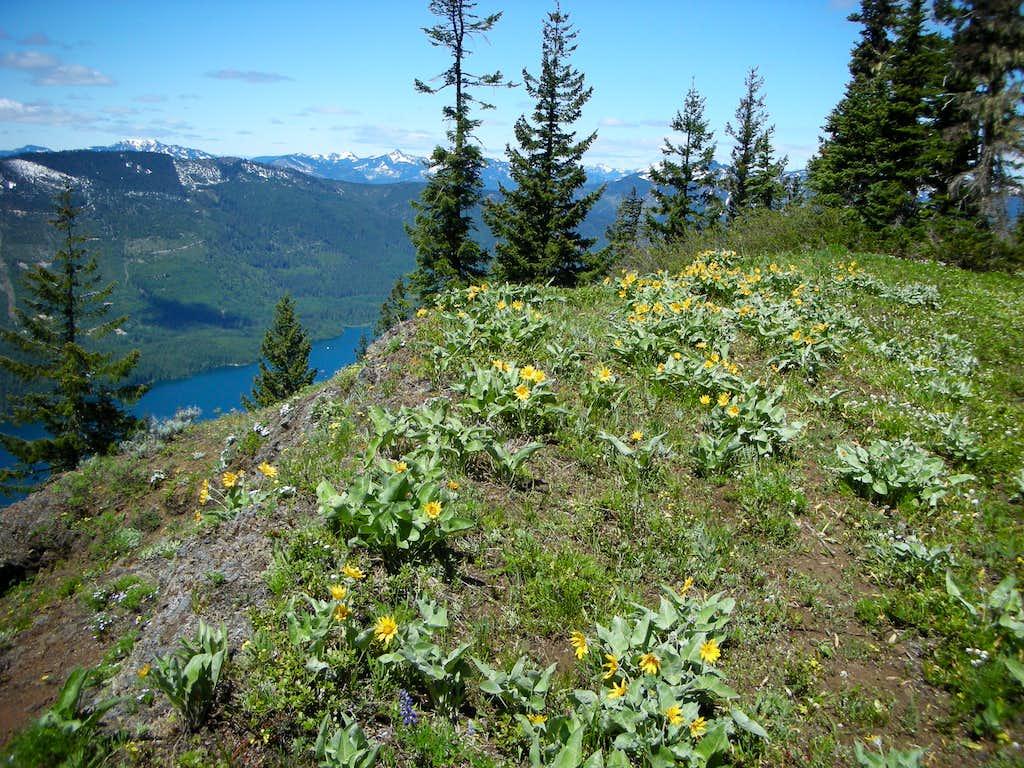 Balsamroot on Kachess Ridge