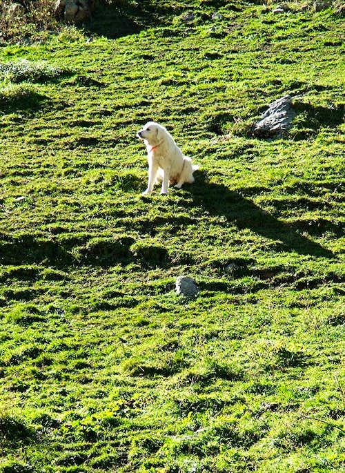 Sheep Dog in Alpes Maritimes
