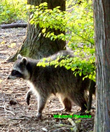 Racoon on the Lookout