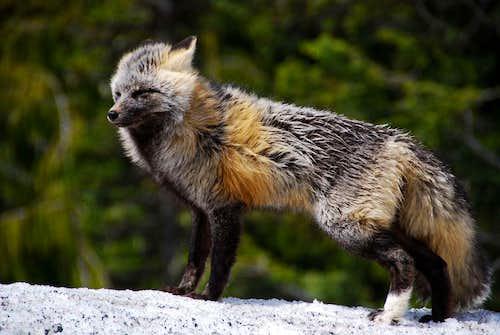 Mt Rainier Fox
