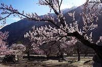 Blossom in Passu Hunza