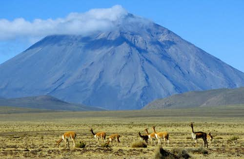 Vicuñas and Misti