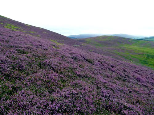Colourful Heathers on Broad Law