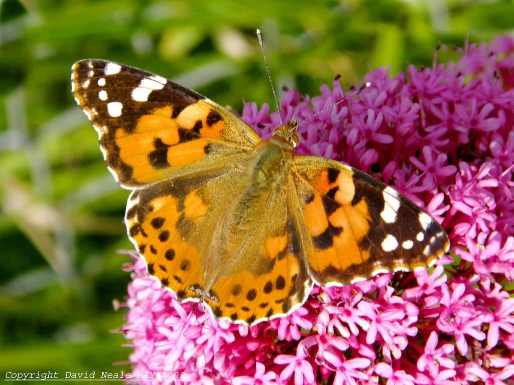 Painted lady butterfly diagram - photo#28