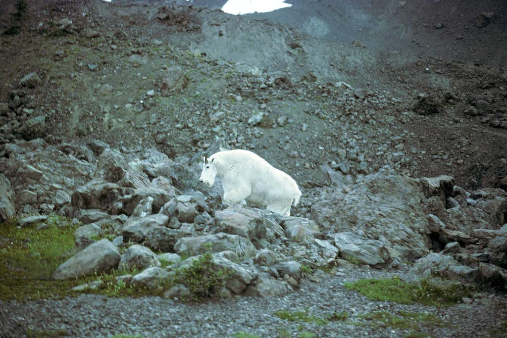 Mountain Goat in Royal Basin