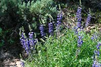 Kellogg s Spurred Lupine