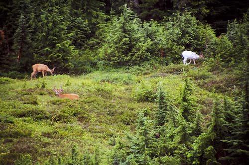Albino Deer and Friends