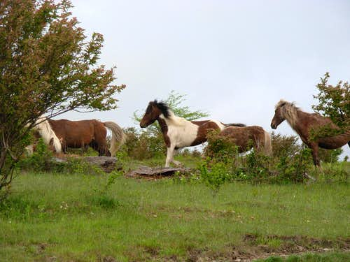 Wild Ponies Along Rhododendron Trail...