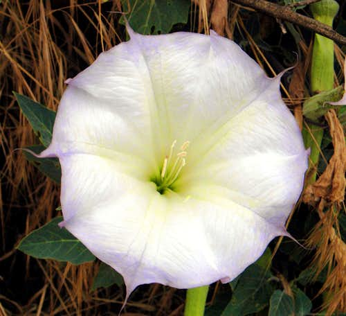 Datura on the climbers trail