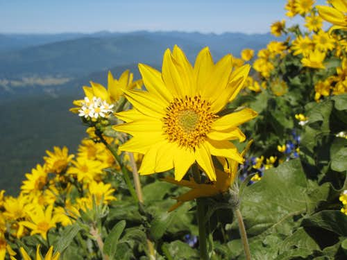 Balsamroot up close
