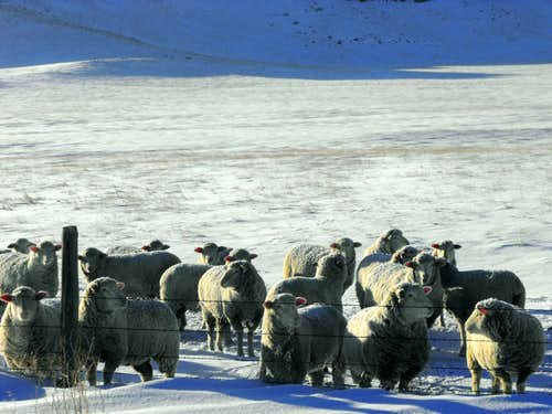 Hutterite Sheep