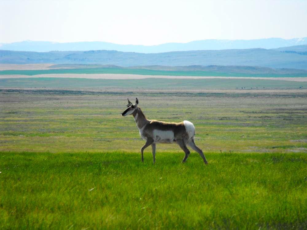 Rocky Mountain Antelope