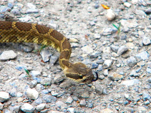 Salmon River Rattler Tasting the Air