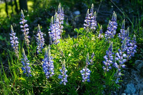 Native Lupine