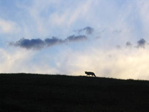 Coyote, near Wetterhorn Peak, Colorado