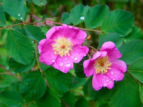 Bald-hip Rose (Rosa gymnocarpa)