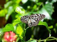 Butterfly (Danaus choaspes) on Mt. Malipunyo