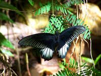 Once in a life (Papilio memnon - local subspecies on Malipunyo)