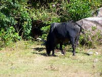 There are Big Black Buffalos everywhere on the hill