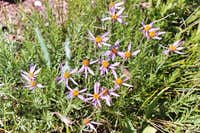 Rocky Mountain Aster (Aster stenomeres)