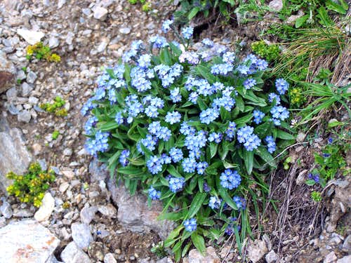 Forget-me-not flowers on 2800 m