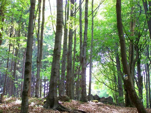Beech-forest on 1000 m height
