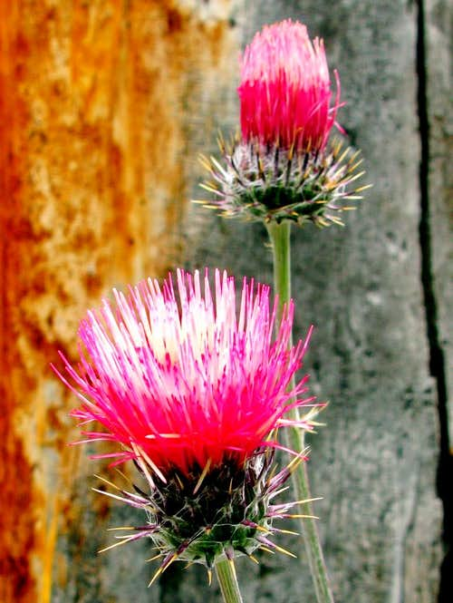 Anderson's Thistle