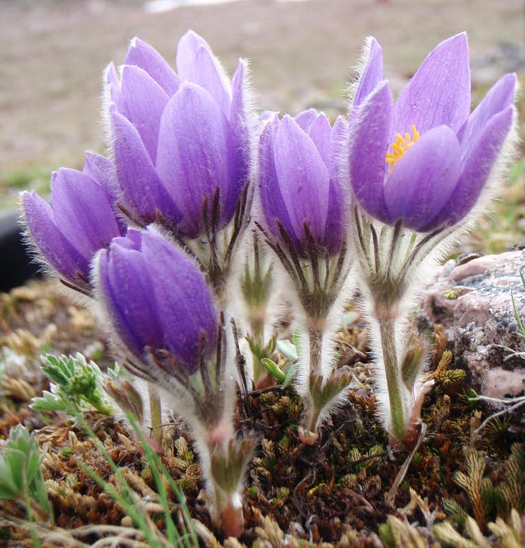 Pasqueflower along the route