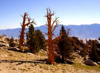 Foxtail Pines are closely related to Bristlecone Pines