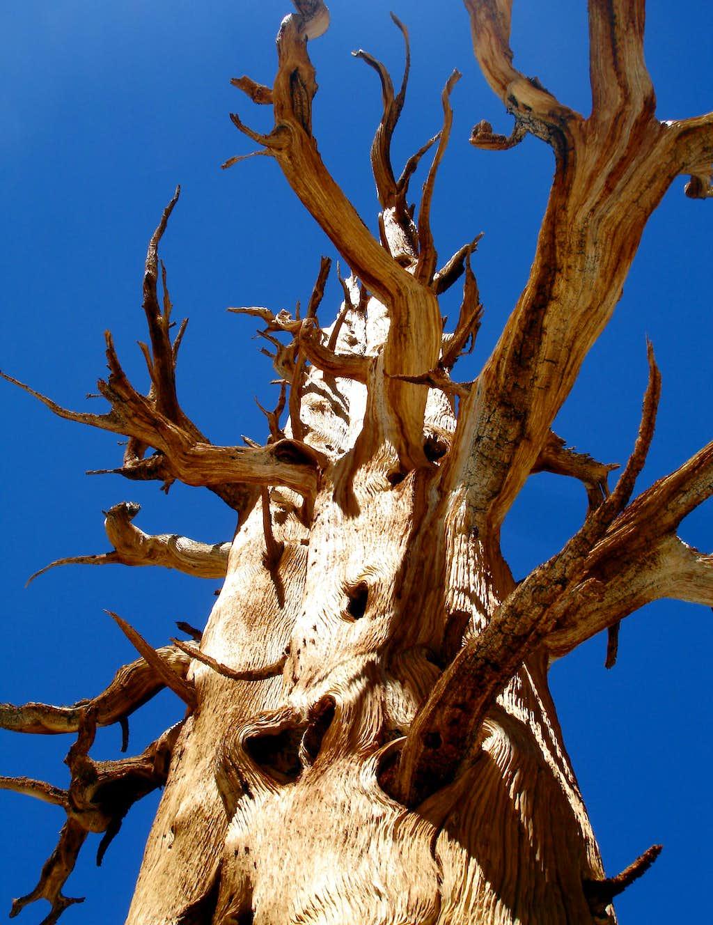Ancient bones of a Foxtail Pine