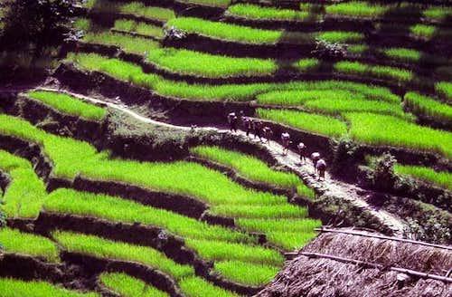 Manaslu Trek, rice paddies
