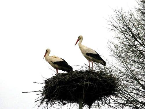Storks have returned to their nest