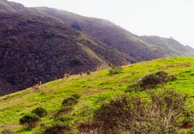 Roosevelt elk herd in Marin...