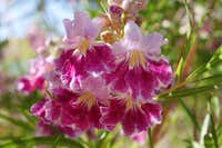 Blooms of Desert Willow
