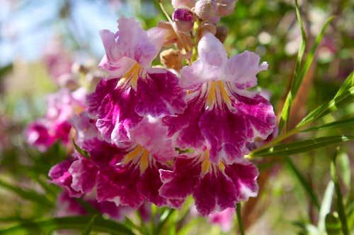 Blooms of Desert Willow