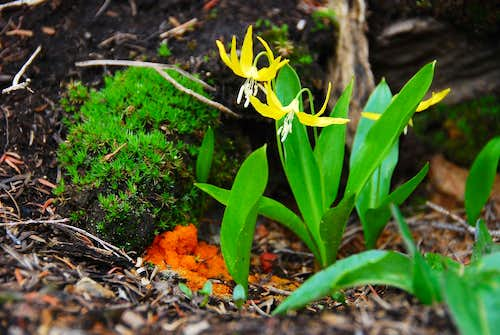 Glacier Lilly and Fungus