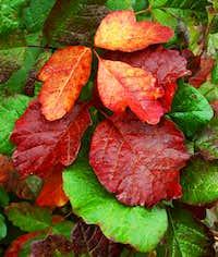 Poison Oak, Evil Beauty