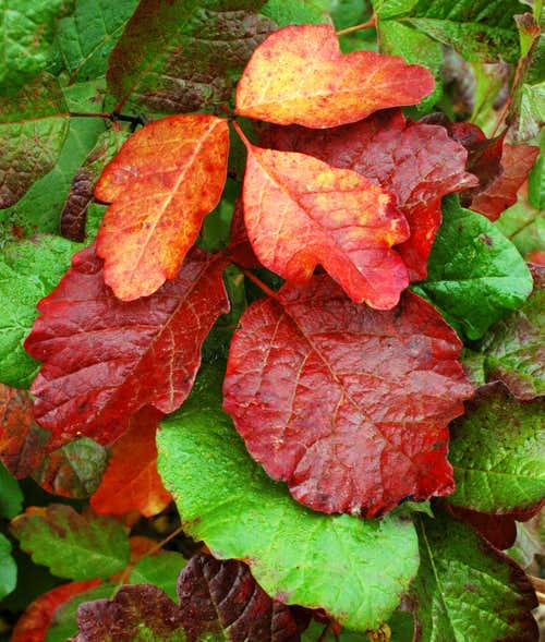 Poison Oak, Evil Beauty